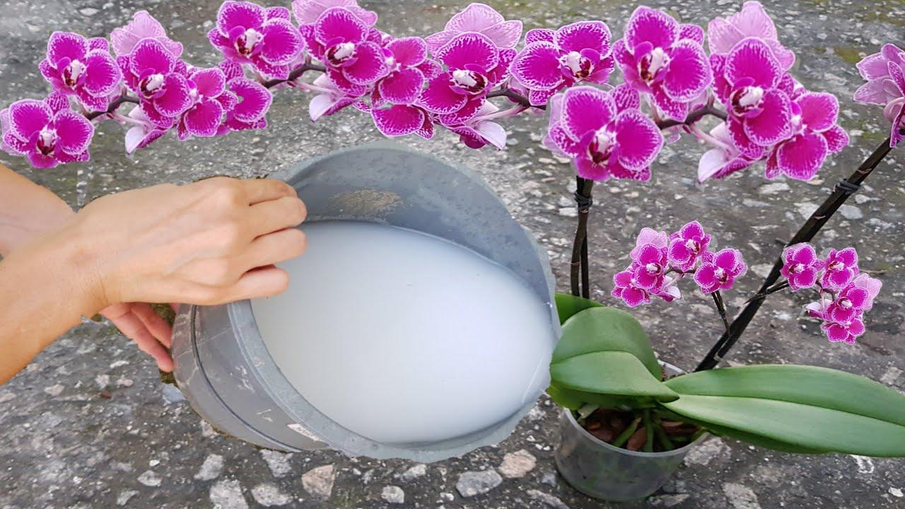оризова вода за орхидеи