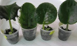 Теменужки - как правилно да се вкореняват листата им