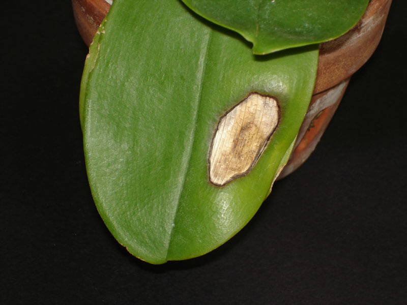 изгаряне от слънце орхидея