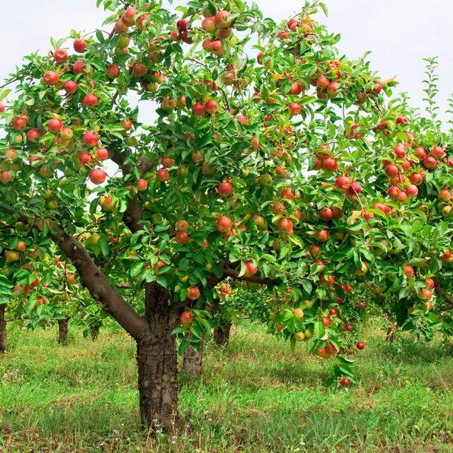 дърво ябълка