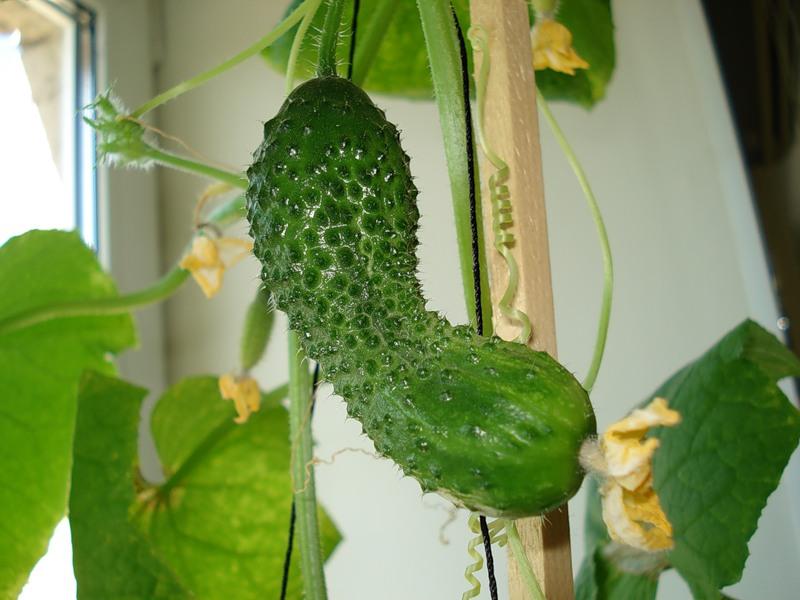 отглеждане на краставички