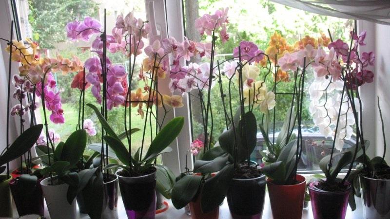 вредители по орхидеите