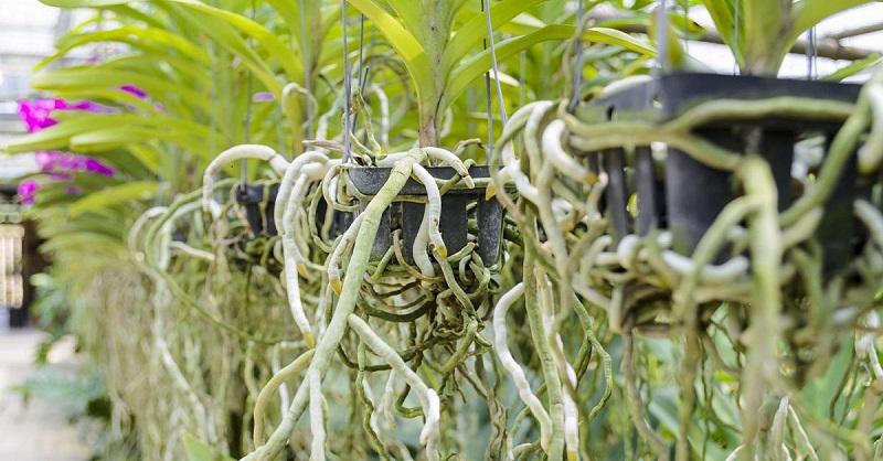 орхидеи корени