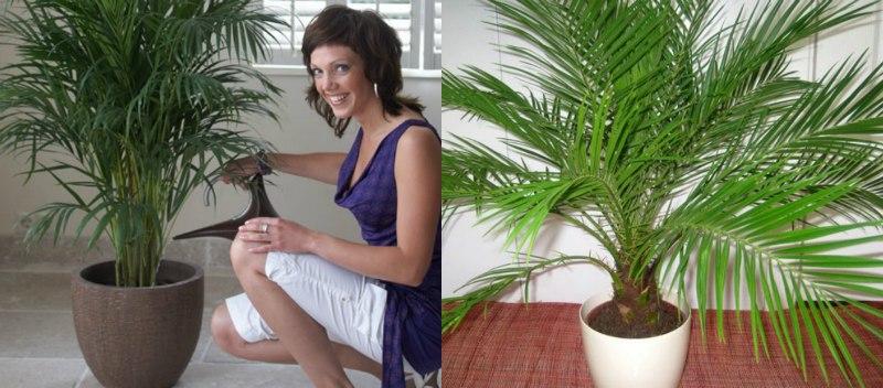 отглеждане на палма