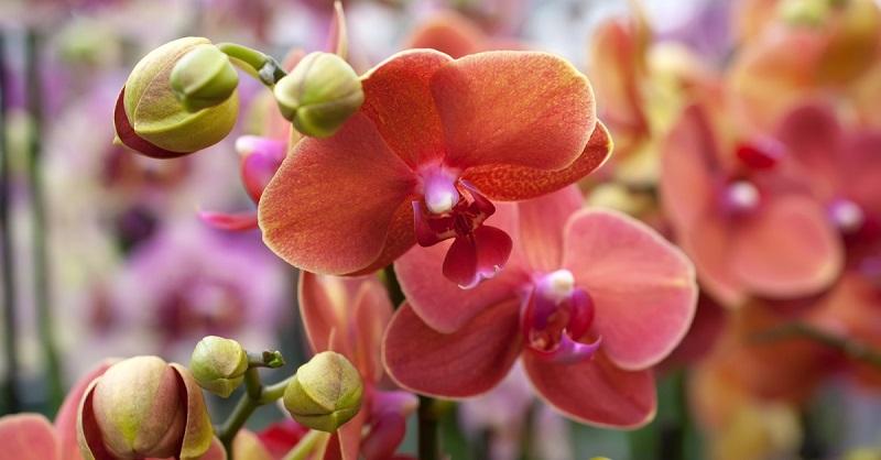 цвят орхидея