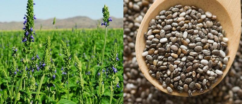 използването на семена от чиа