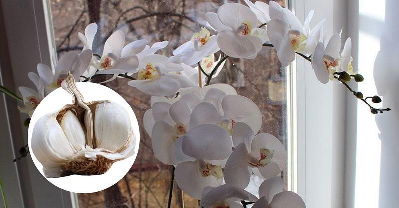 чесън за орхидеята