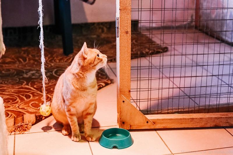 домашна котка