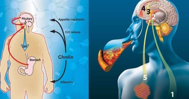 хормон на глада