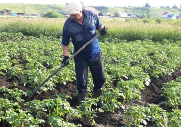 копане на картофи