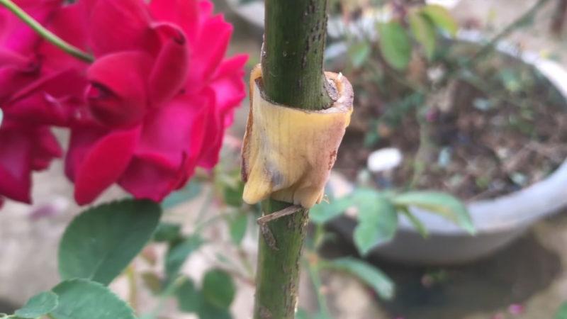 вкореняване роза с банан