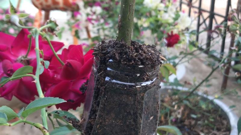 вкореняване на роза с пластмасова бутилка