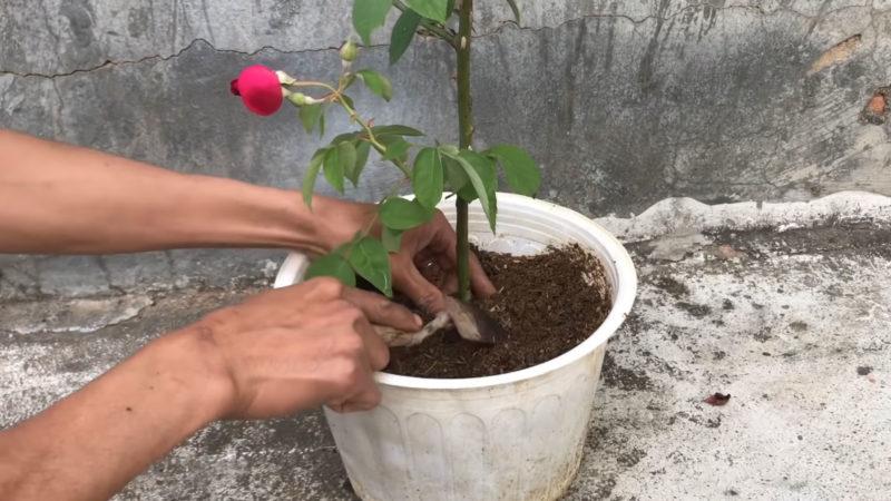 разсаждане роза