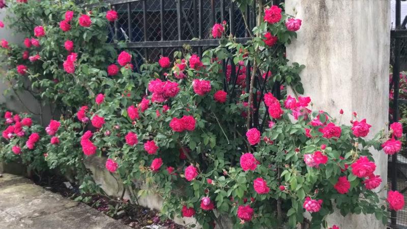 красив розов храст