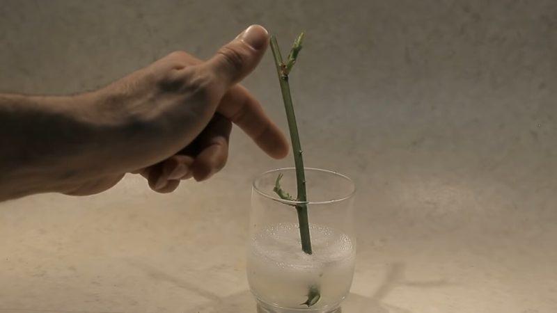 вкореняване на роза в алое