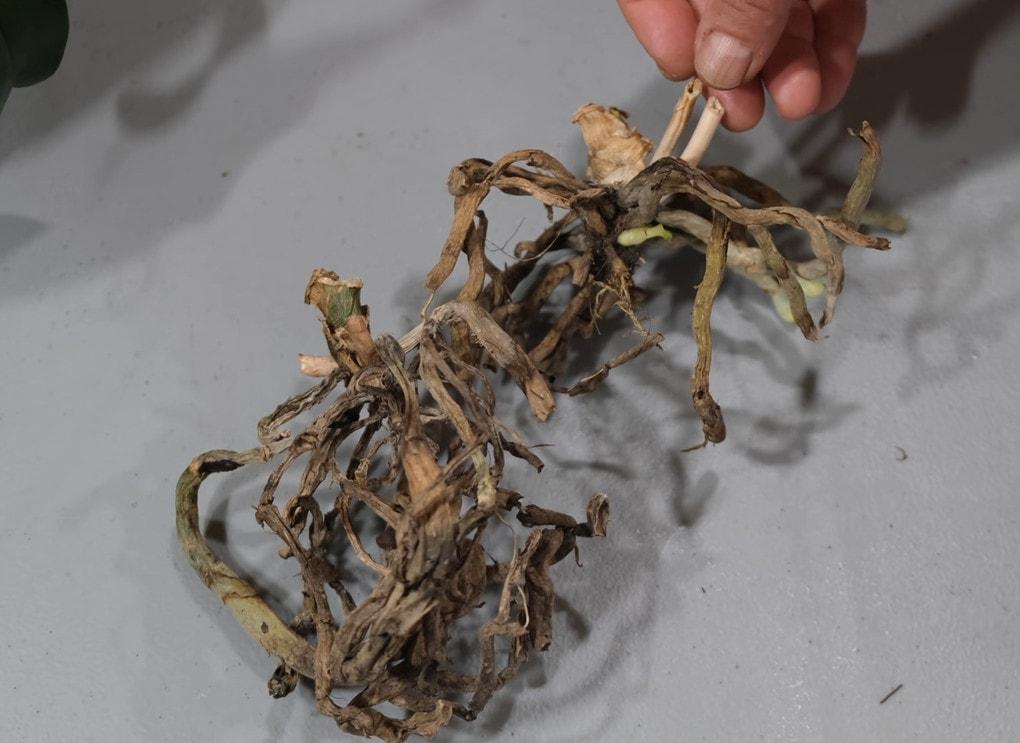 сухи корени орхидея