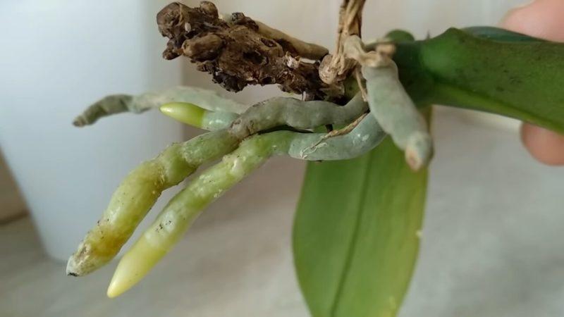 корени орхидея