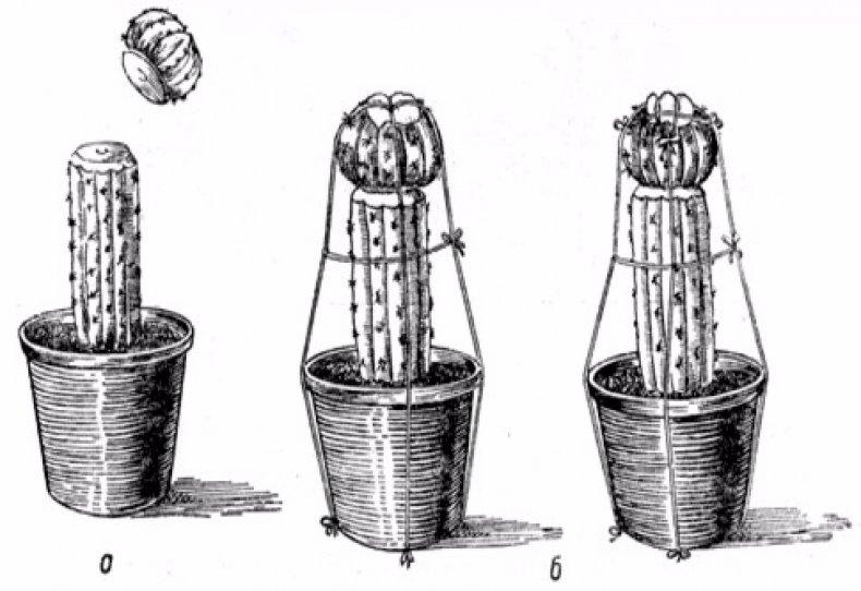 присаждане кактус