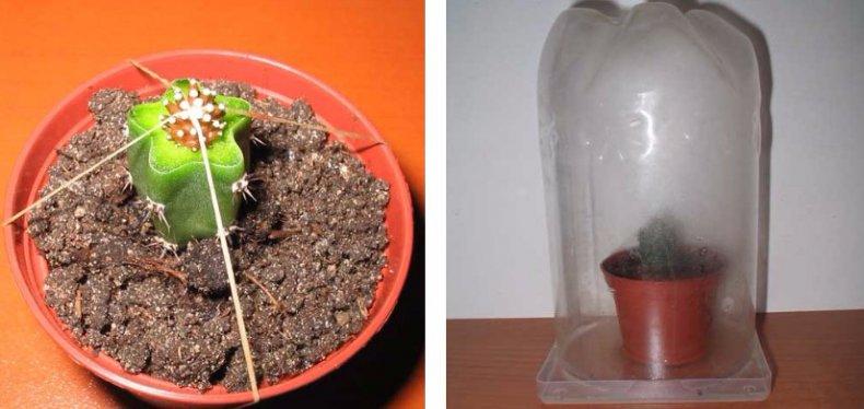 ашладисване на кактуси