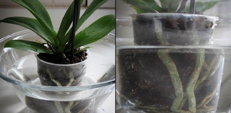 как правилно да подхраним орхидеите