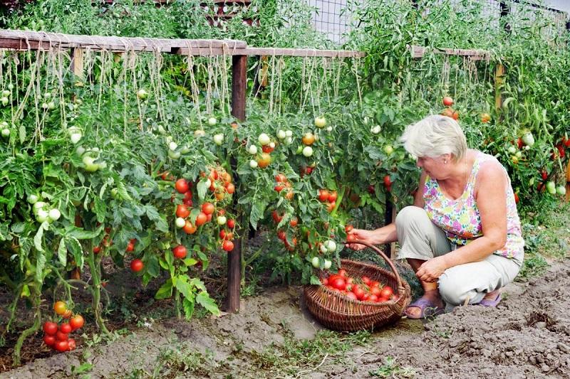 реколта с домати