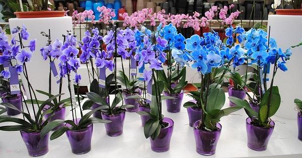 разсаждане орхидеи