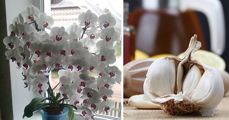 чесън за цъфтеж на орхидеята