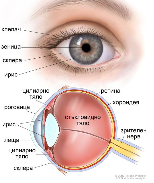 анатомия на окото