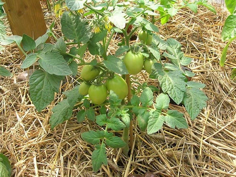 мулчиране на домати