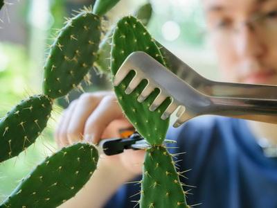 отделяне на кактус