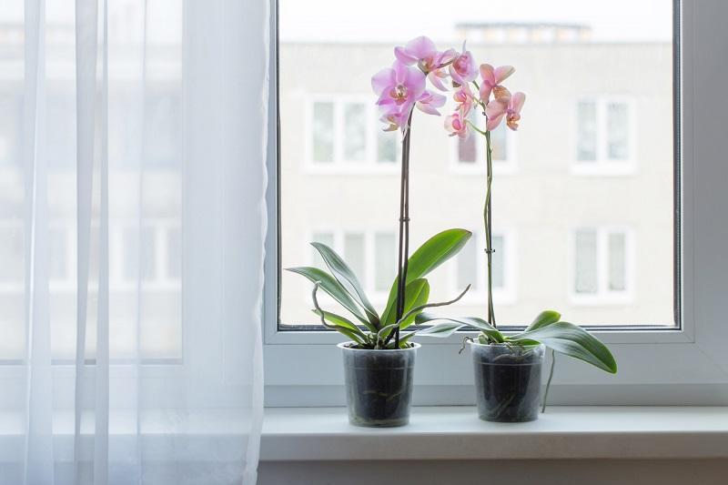 цъфтяща орхидея