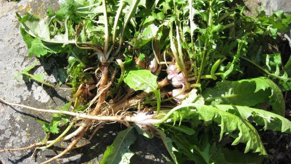 Лечебни корени на растенията