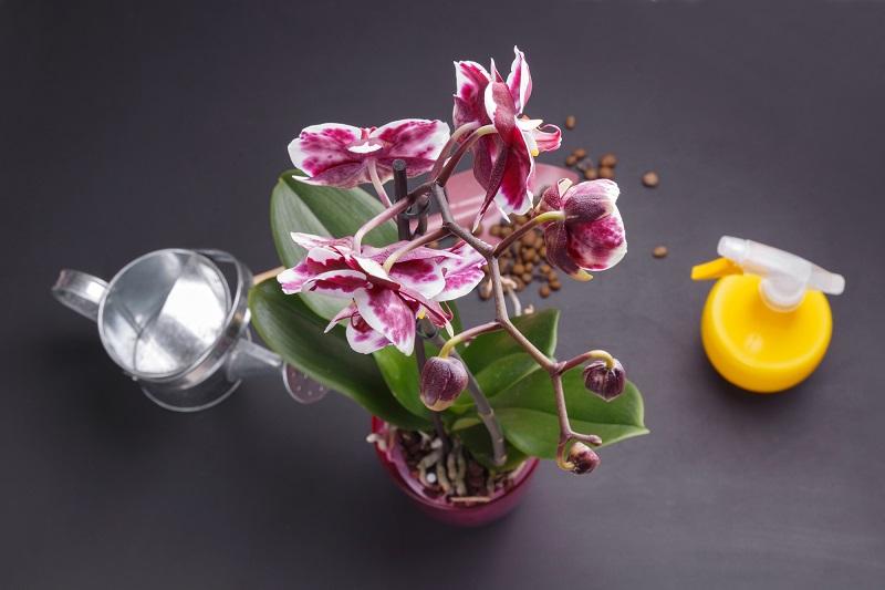 поливане орхидея