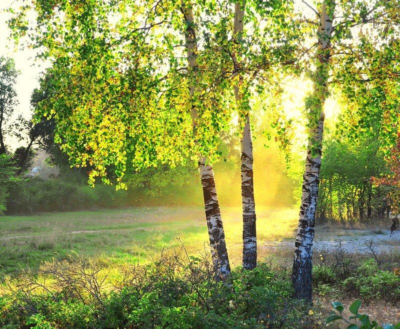 дърво бреза