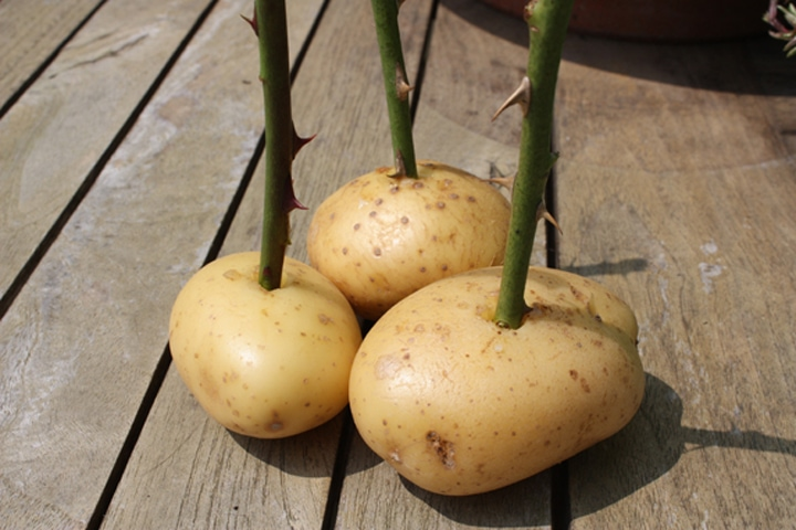 роза в картоф
