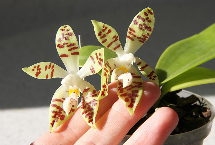 пъстра орхидея