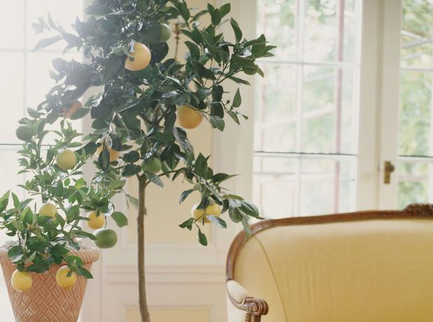 лимон дърво
