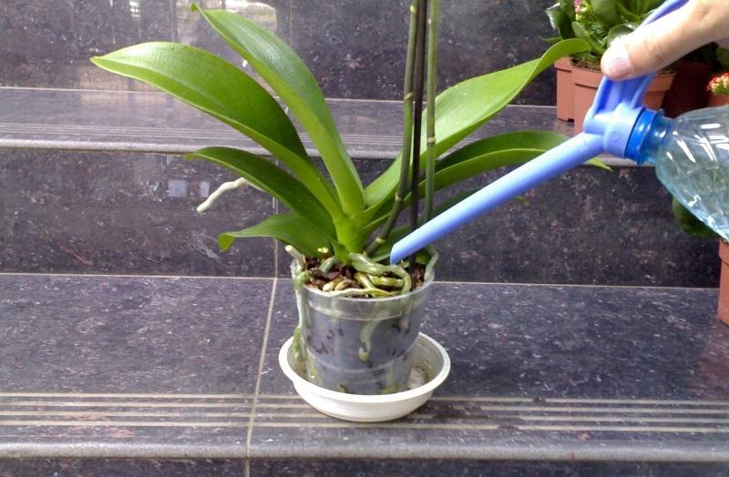 как се тори орхидея