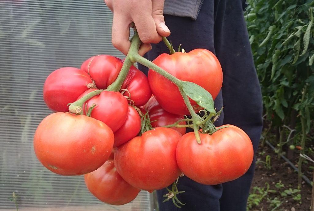 подхранване на доматите