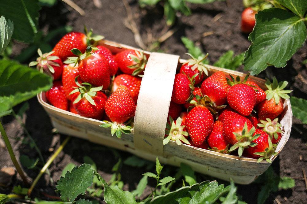 избор на ягоди