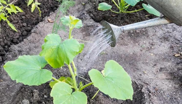 поливане краставици