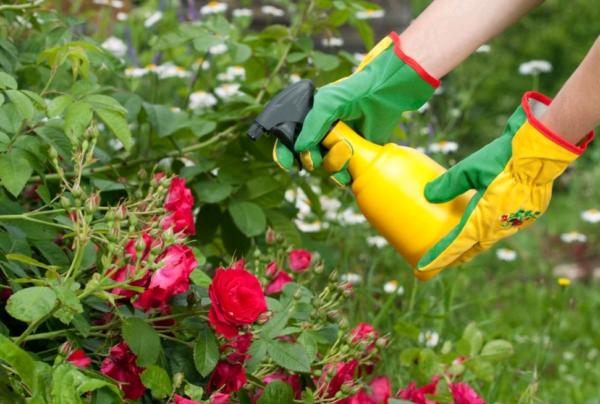 пръскане на розите