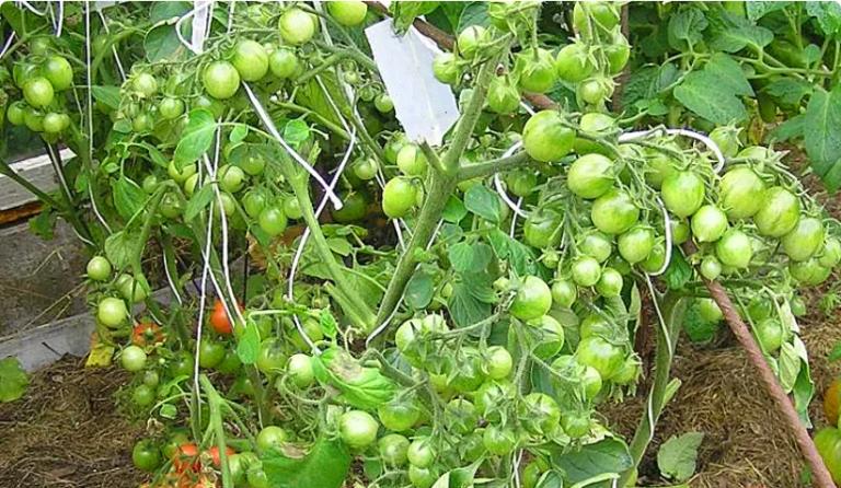 зелени доматки