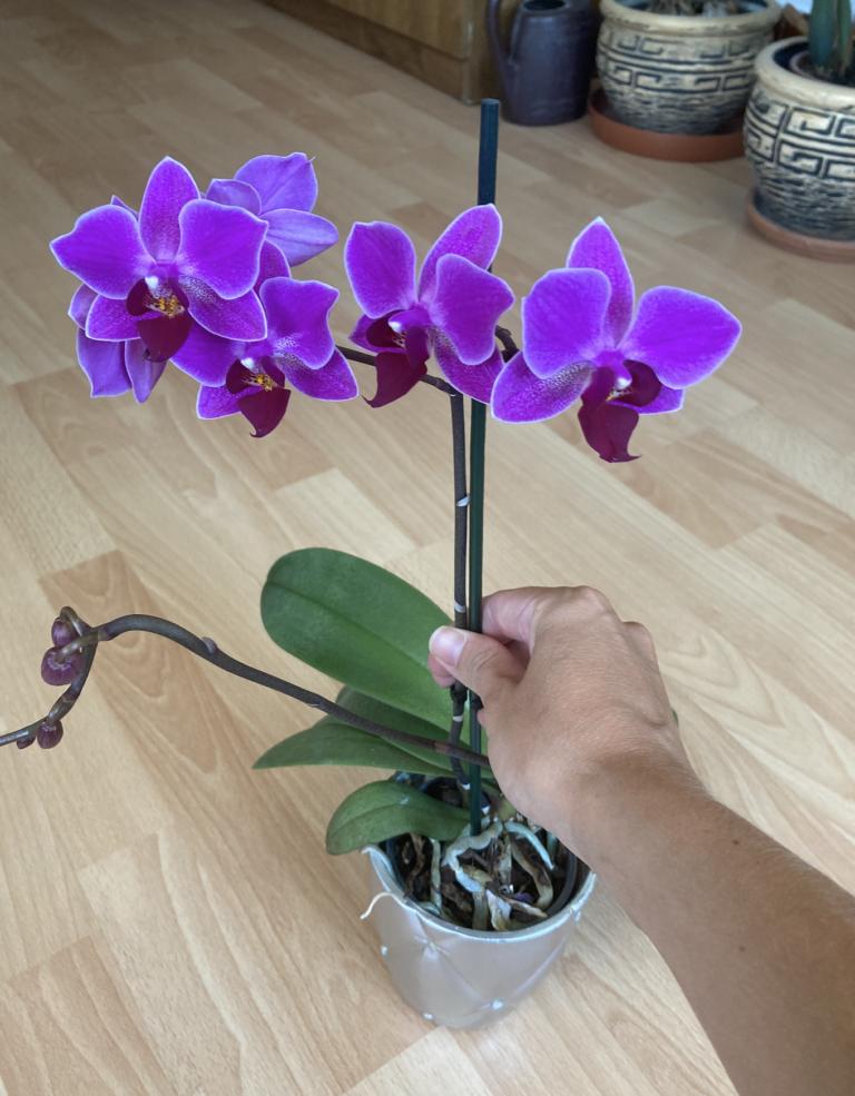 орхидея с пъпки
