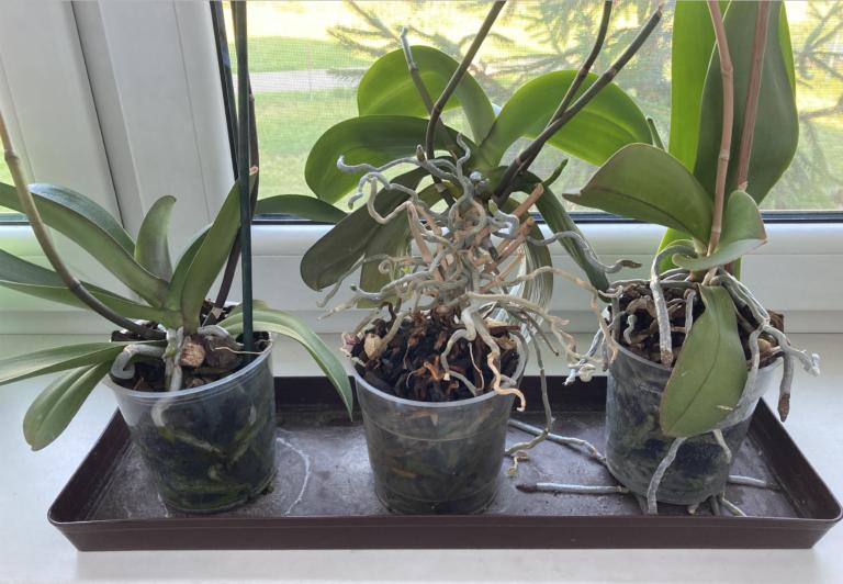 орхидеи растеж