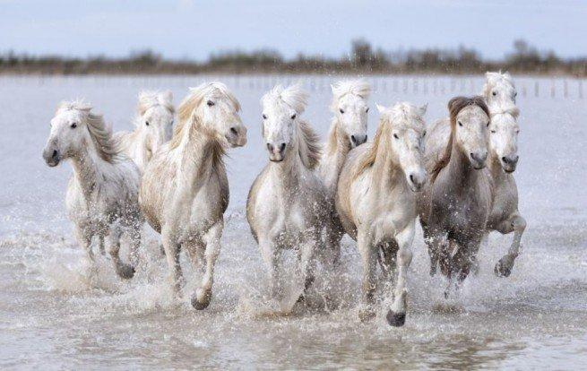 Камаргски кон