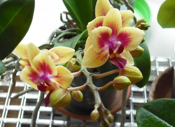 Поливане на орхидея