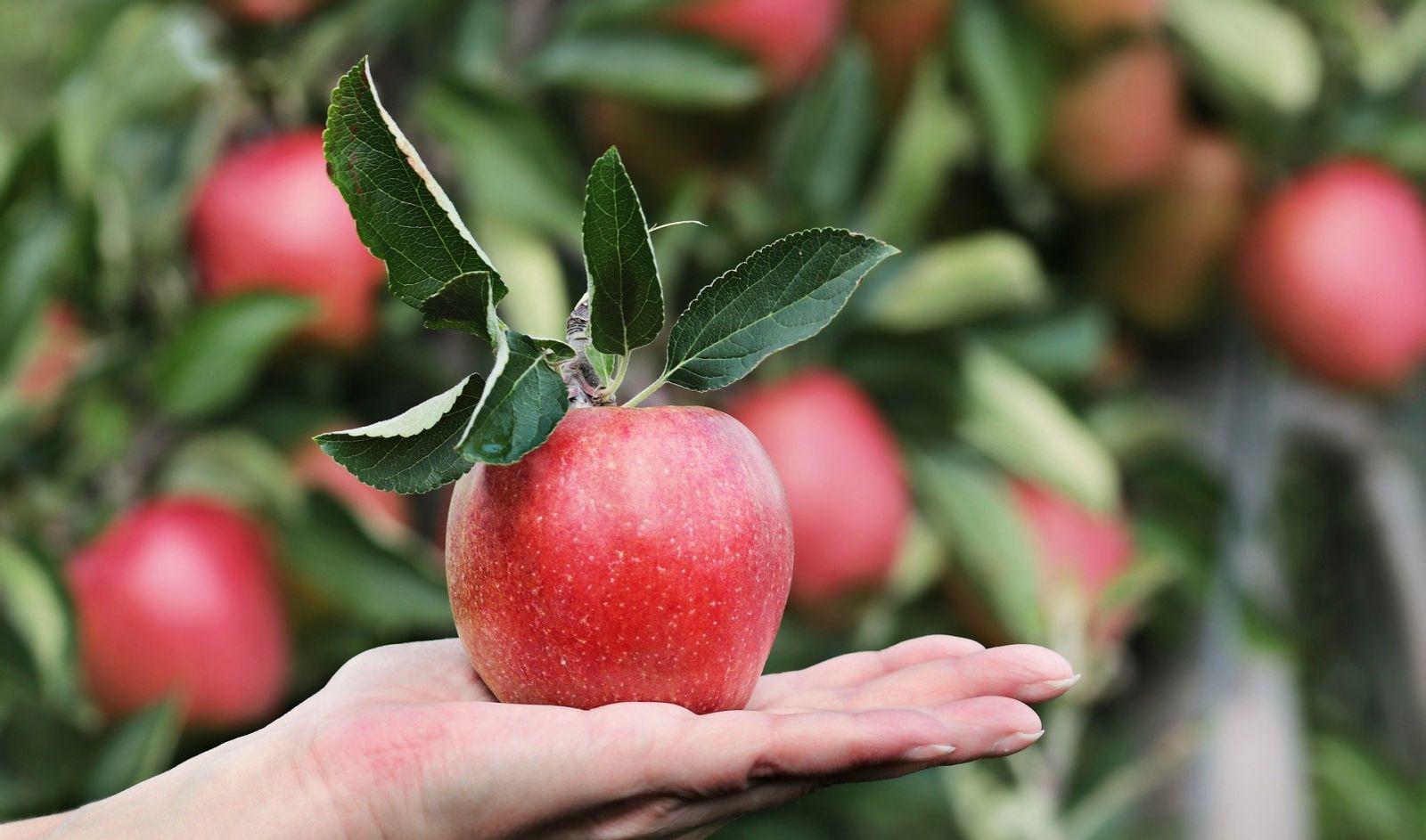 ябълка на дърво