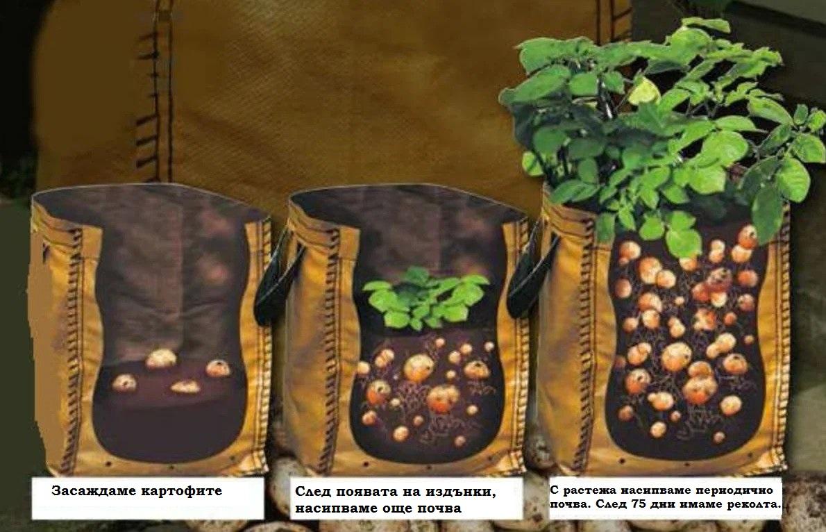 картофи в саксия