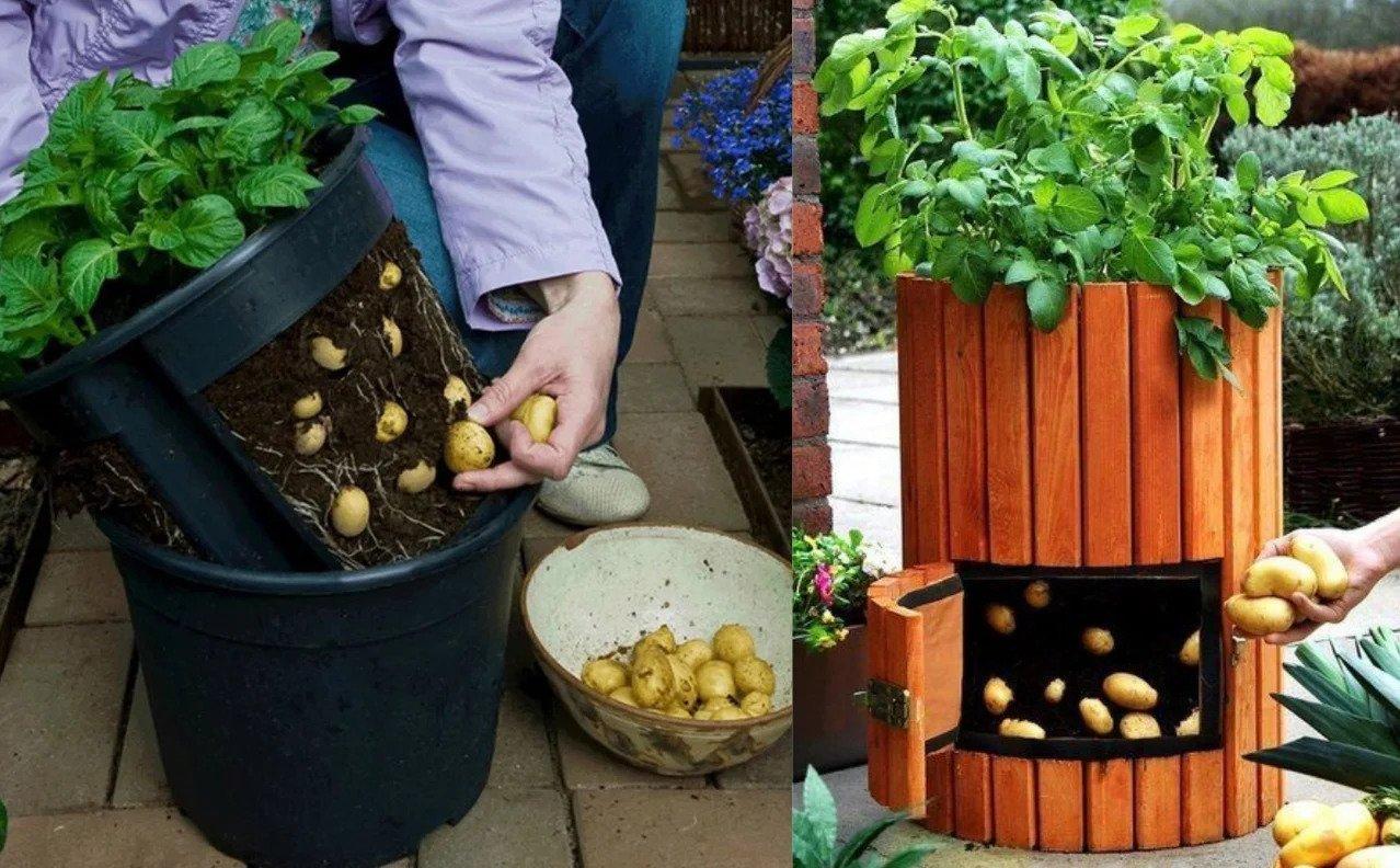 картофи на терасата